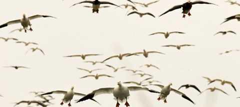 Light Goose Migration Headquarters